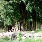 bambusal